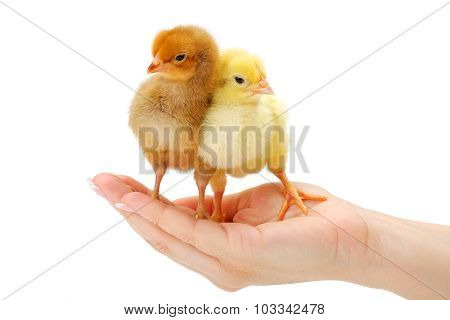 Pair Of Newborn Chickens Standing In Human Hand