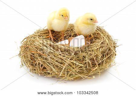 Pair Of Newborn Chickens In Hay Nest With Egg Shells