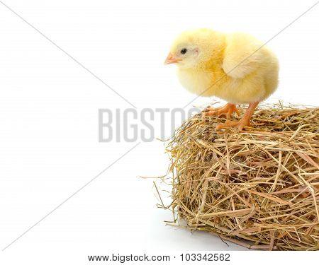 Newborn Chicken Standing On The Edge Of A Hay Nest