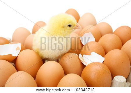 Little Newborn Yellow Chicken In Egg Tray