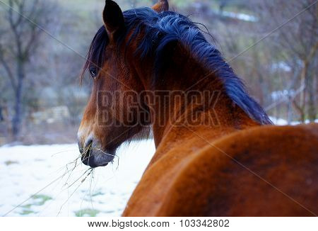 Brown Horse in Snow land and snowfall.