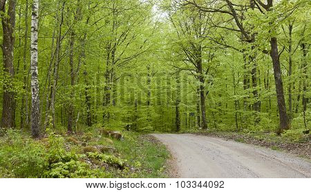 Beech forest in May.