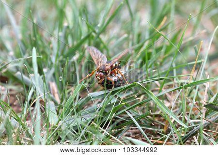 Cicada Killer With Cicada