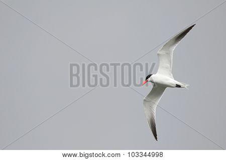 Soaring Tern