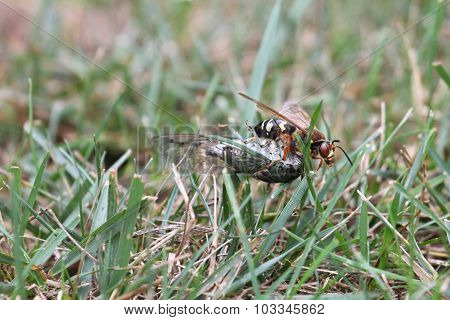 Cicada Killer With Prey