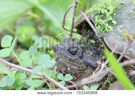 Hiding Snapping Turtle