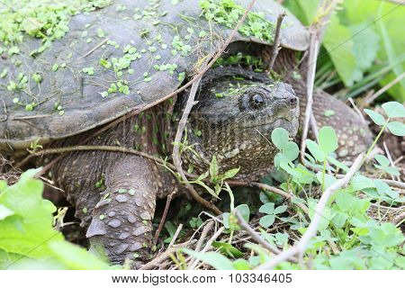 Snapping Turtle And Twigs