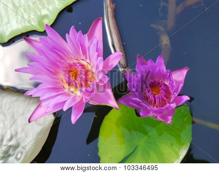 The Blue lotus and Yellow pollen on the Water