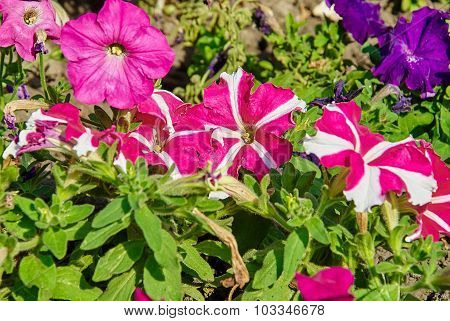 Colorful Petunias Close-up