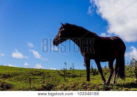 Black mountain horse