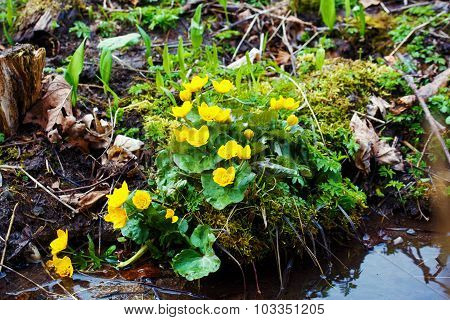 Yellow buttercup flowers Ranunculus. in the meadow. the stream