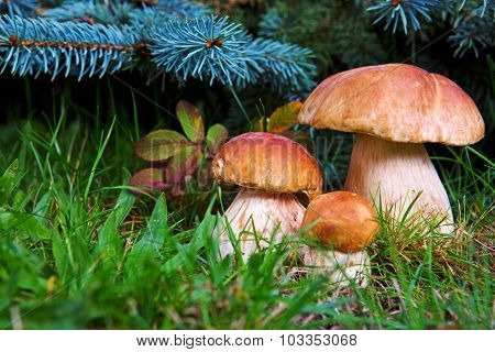 Three mushroom boletus in the forest.
