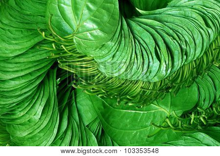 Edible Betel Leaf Of Indian Subcontinent