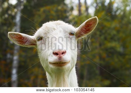 Face of the white goat