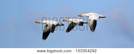 Snow Geese Flying Formation - Migration.  Canada