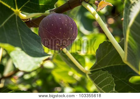 Ripe Purple Figs Dripping With Juice