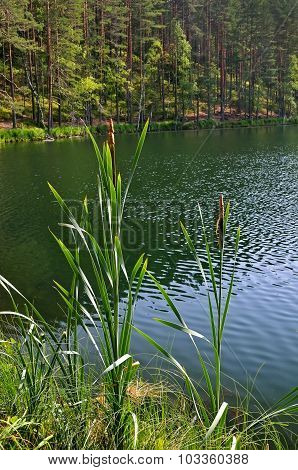 Scirpus Plants On The Lake
