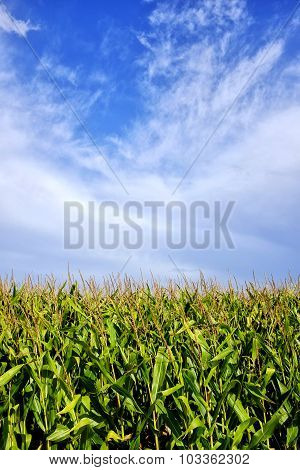 Clouds Over A Cornfield