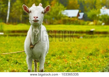 Horny goat near a pond