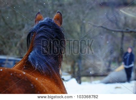 Brown Horse, on background  with man