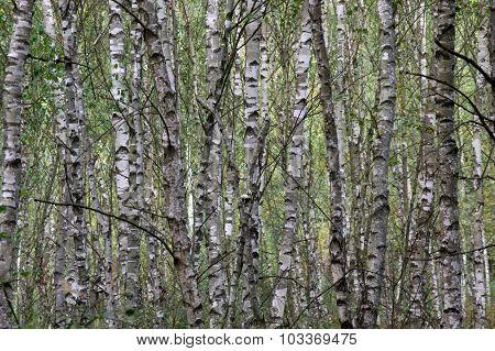 Birch forest.