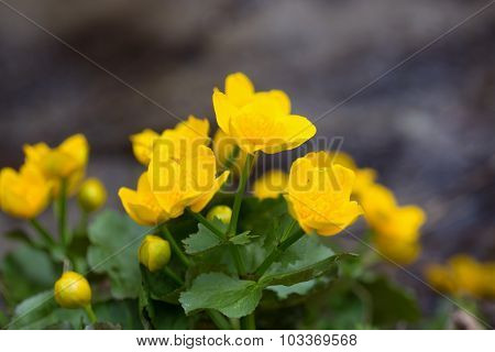 Yellow buttercup flowers Ranunculus. in the meadow