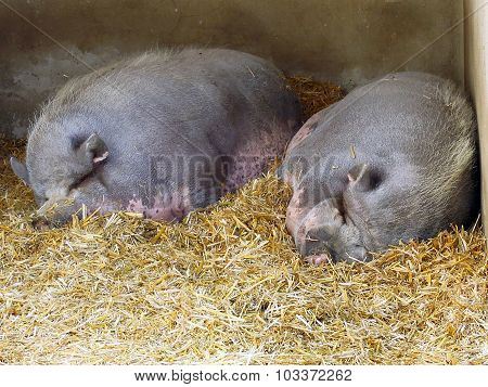 Two Chines Pigs