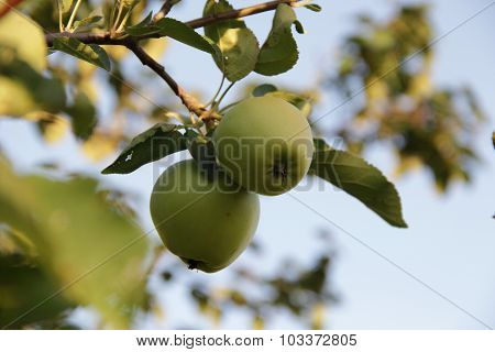 Apples On An Apple-tree Branch