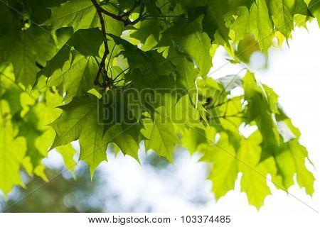 Ash-tree Leaves