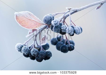 ?hokeberry On A Frost