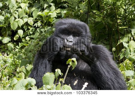 Young Gorilla Feeding