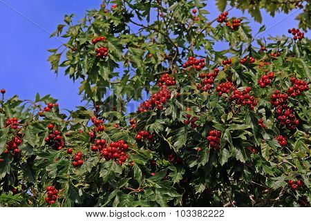 wild berry hawthorn
