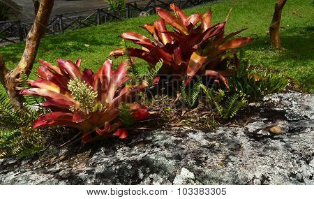 Flowering Bromeliad in a Tropical Garden