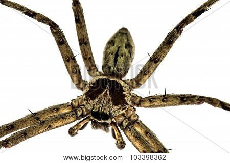 Common Huntsman Spider