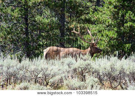 Elk In Grand Teton National Park