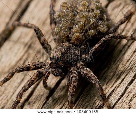 Wolf Spider Carries Babies On Back