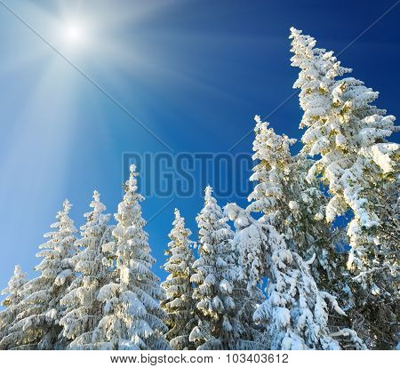 Winter Spruce Tops (christmas Background)