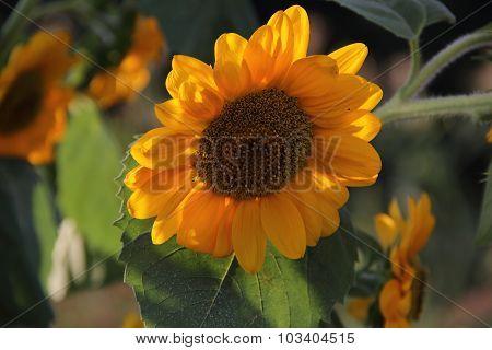 Yellow Sunflower Among Green Leaves