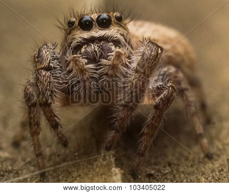 Brown Jumping Spider With Web