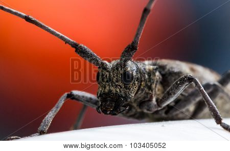 Longhorn Beetle With Red Background
