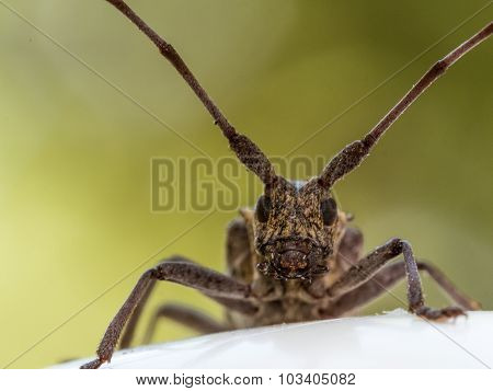 Longhorn Beetle Portrait With Red And Blue Background.