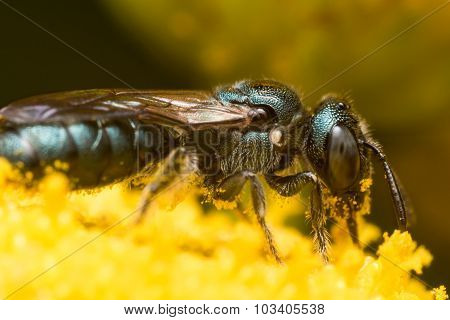 Profile View Of Dark Green Metallic Sweat Bee On Yellow Flower