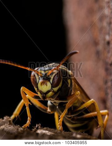 Paper Wasp Guards Nest