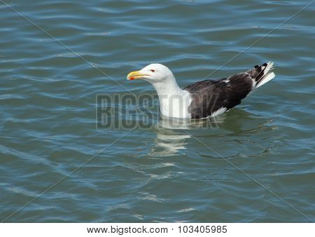 Floating Seagull On Water Looking To The Left