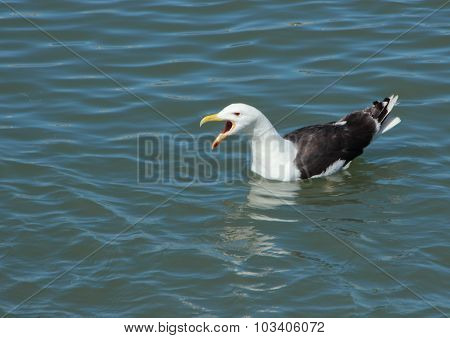 Screaming Seagull Swimming On Water And Looking Left