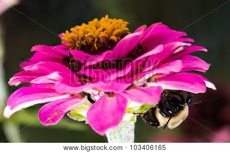 Pink Flower With Bumble Bee Underneath