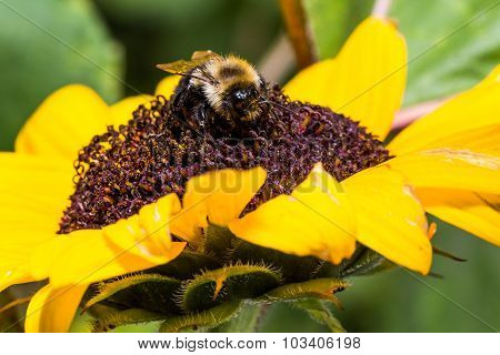 Fuzzy Yellow Bumble Bee Extracts Pollen from Bright Red Sunflower