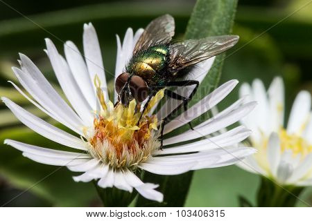 Shiny Metallic Green Fly on White Aster Flower