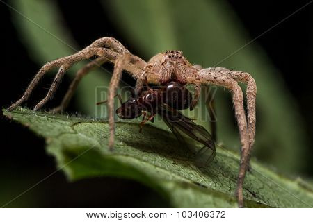 Brown Wolf Spider on Green Leaf Eats Red Ant