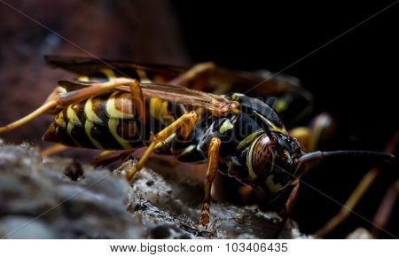 Paper Wasps Guard Nest